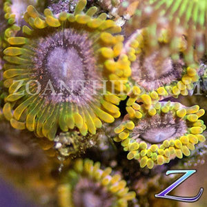 Pink Infusion Zoanthids