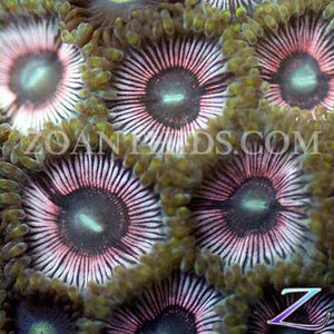Pink Passion Zoanthids