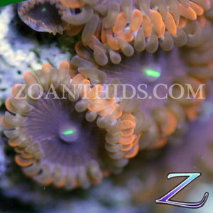Pink Ring People Eater Zoanthids