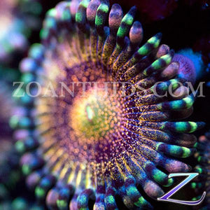Pipe Dream Zoanthids