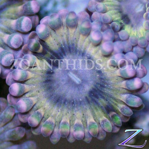 Powder Puff Zoanthids