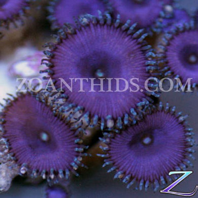 Purple Death ProtoPalys
