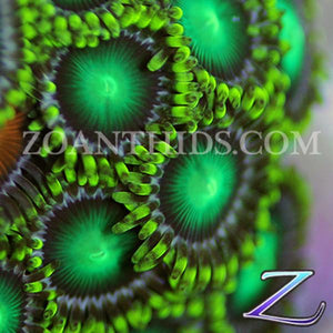 Radioactive Dragon Eyes Zoanthids