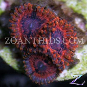Rainbow Bright Zoanthids