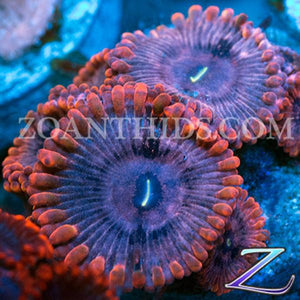 Red Cyclops Zoanthids