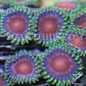 Red Dragon Zoanthids