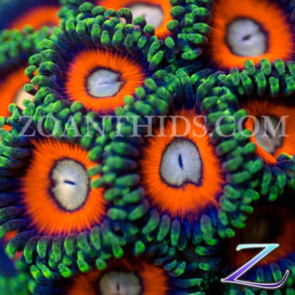 Red Hot Zoanthids