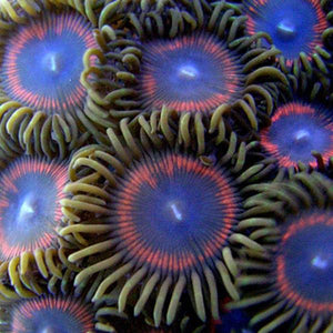 Red Ring AOG Zoanthids