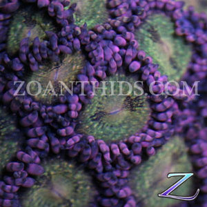 Reverse Space Monster Zoanthids