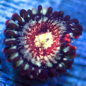 Screamin People Eater Zoanthids