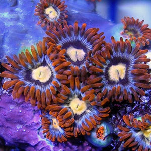 Screaming Hawks Zoanthids