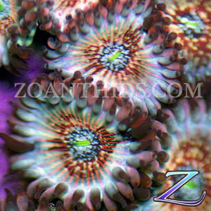 Seduction People Eater Zoanthids