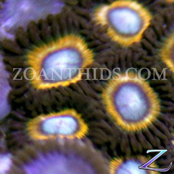 Shell Shocked Zoanthids