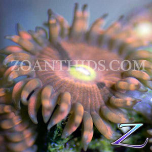 Silly Sioux Zoanthids
