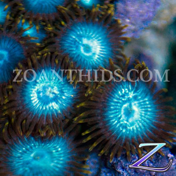 Smurfs Blood Zoanthids