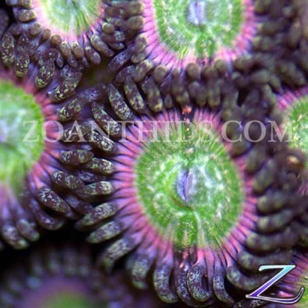Sour Punch Zoanthids
