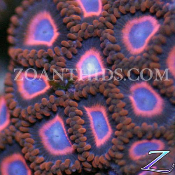 Spiderman vs Superman Zoanthids