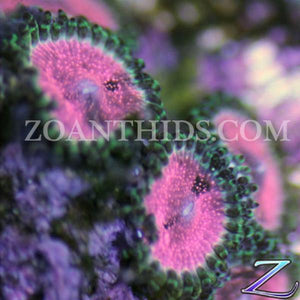 Strawberry Wine Zoanthids