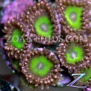 Sucker Punch Sally Zoanthids