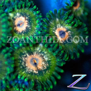 Swamp Thing Zoanthids