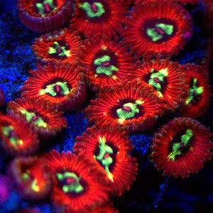 Time Warp Micro Zoanthids