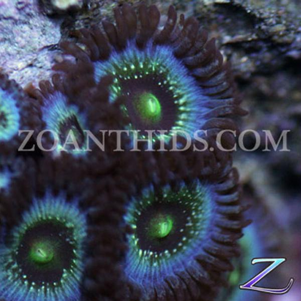 Twilight Blue Zoanthids
