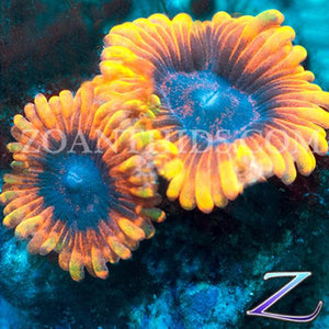 Twitches Zoanthids