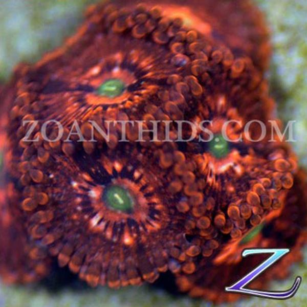 Ultimate Chaos Zoanthids