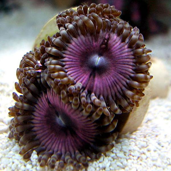 Ultimate Pinks Zoanthids