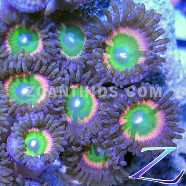 Ultimate Rainbow Zoanthids