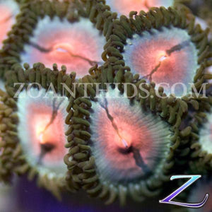 Ultra Blue Kiss Zoanthids