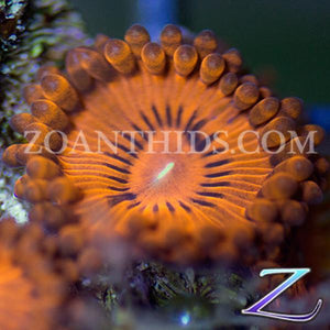 Valentines Day Massacre Zoanthids