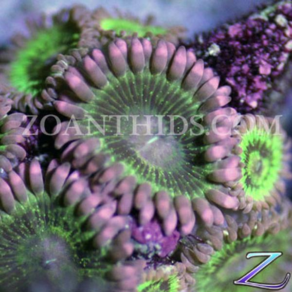 Willy Wonka Zoanthids