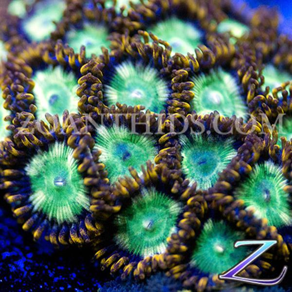 Wrecking Ballz Zoanthids
