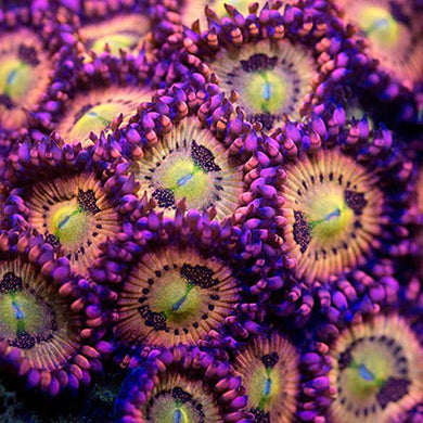 WWC Halle Berry Zoanthids