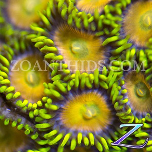 Yellow Brick Road Zoanthids