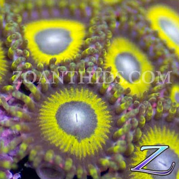 Yellow Jacket Zoanthids