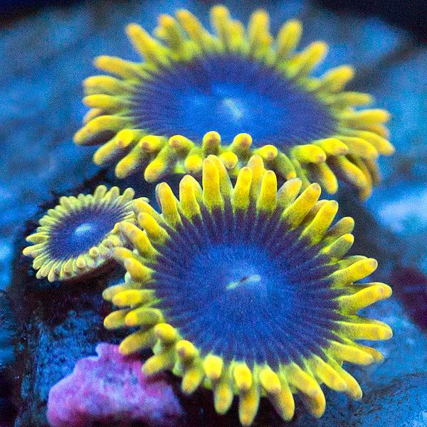 Yellow Lunar Zoanthids