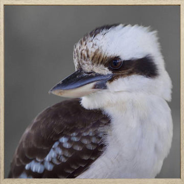 Kookie The Kookaburra 100x100 - PICK UP ONLY
