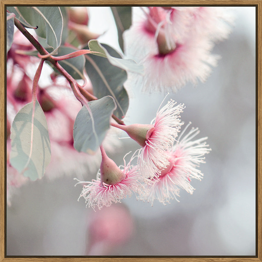 Pink Flowering Gum 100x100 - PICK UP ONLY