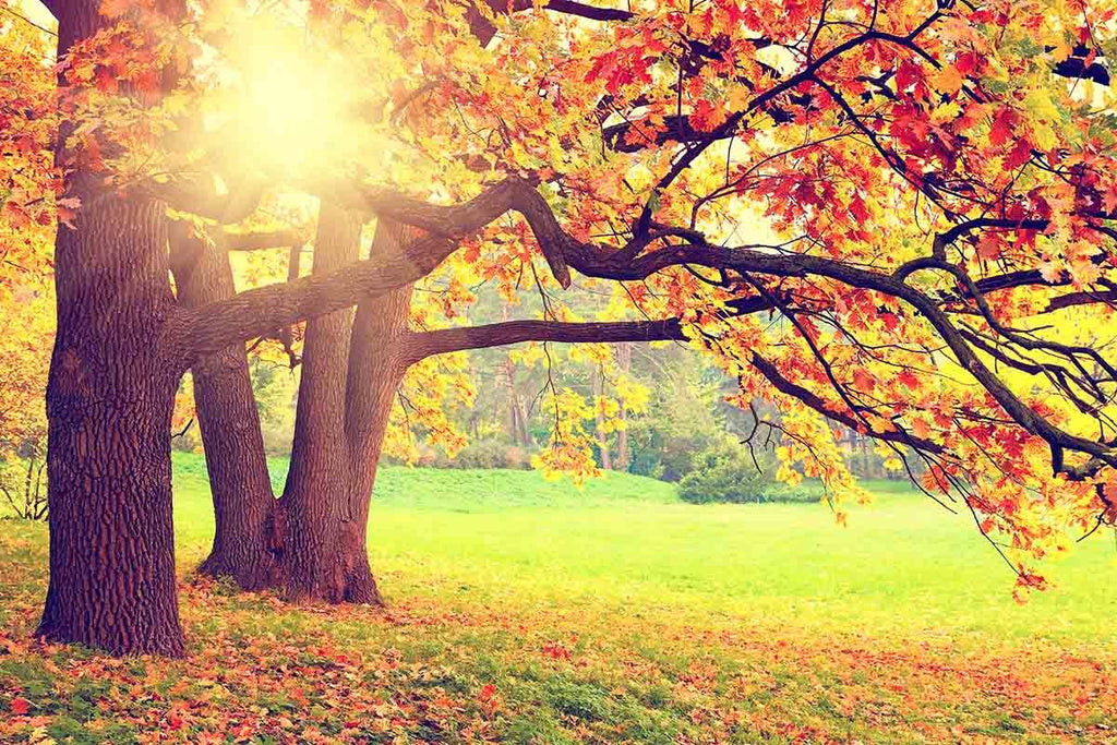 Autumn Scenery With Sunshine Photography Backdrop  N-0097