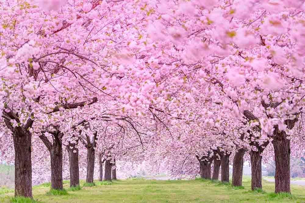 Blooming Cherry Flower Tree Beside Road Photography  Backdrop J-0354 - Shop Backdrop