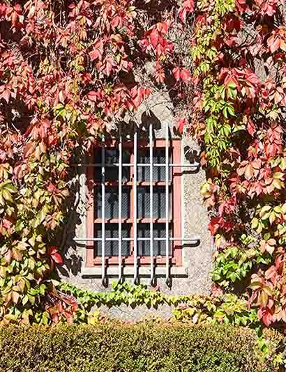 Window With Iron Fence With Parthenocissus  Photography Backdrop