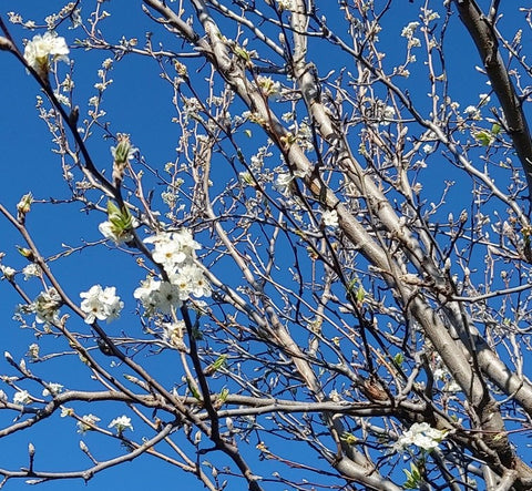 Curvy Community, this image is of the bare ornamental pear tree just starting to blossom against a back drop of blue sky.