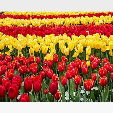 Abstract Red Yellow Tulips  DIY Painting By Numbers Kit - Painting By Numbers Kit - Artwerkes