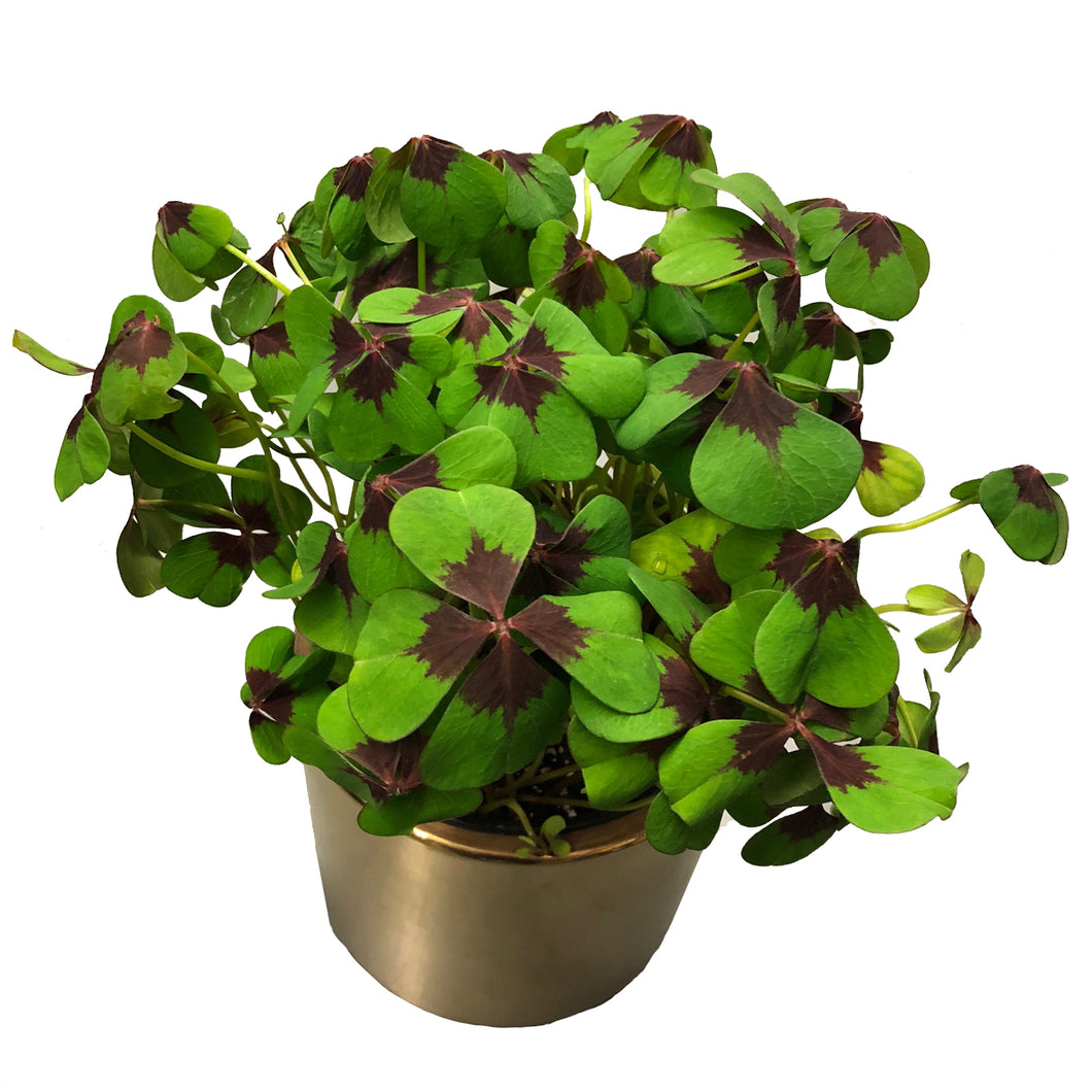 Oxalis Iron Cross Shamrock plant shown potted in a gold pot.