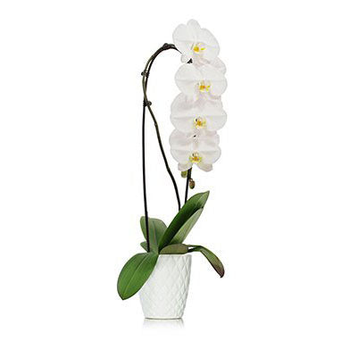 White Phalaenopsis Orchid waterfall style in white ceramic pot available in Classic or Premium double stemmed planter available now at Flower Studio in St. John's Newfoundland.