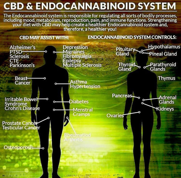 CBD and ADHD: The Human Endocannabinoid System