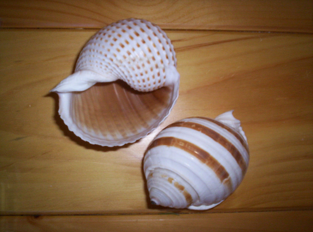 Heirloom Hourglass unity sand ceremony accessory Shell Collection - 1 Tonna Shell