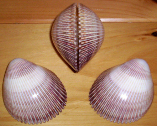 Heirloom Hourglass unity sand ceremony accessory Shell Collection - 2 Polished Cockle Shells